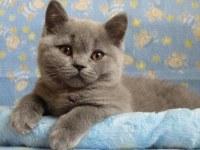 Британские котята. Настоящие плюшки, с родословной.