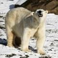 На люберецком меховом предприятии изъяли шкуры краснокнижных белых медведей