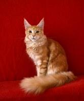 Котята мейн кун, привиты, с документами