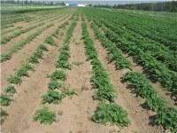 Картофель семенной элита -50р/кг в наличии более 20 сортов. Люберцы