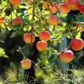 На Туевой аллее в Котельниках высадили яблони