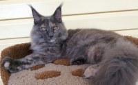 Мейн-кун котята XXL размера