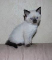 Котенок, блу поинт, с голубыми глазами, тайский