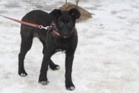 Пропала собака метис-лайки, девочка,  5,5 месяцев, окрас черный с подпалинами